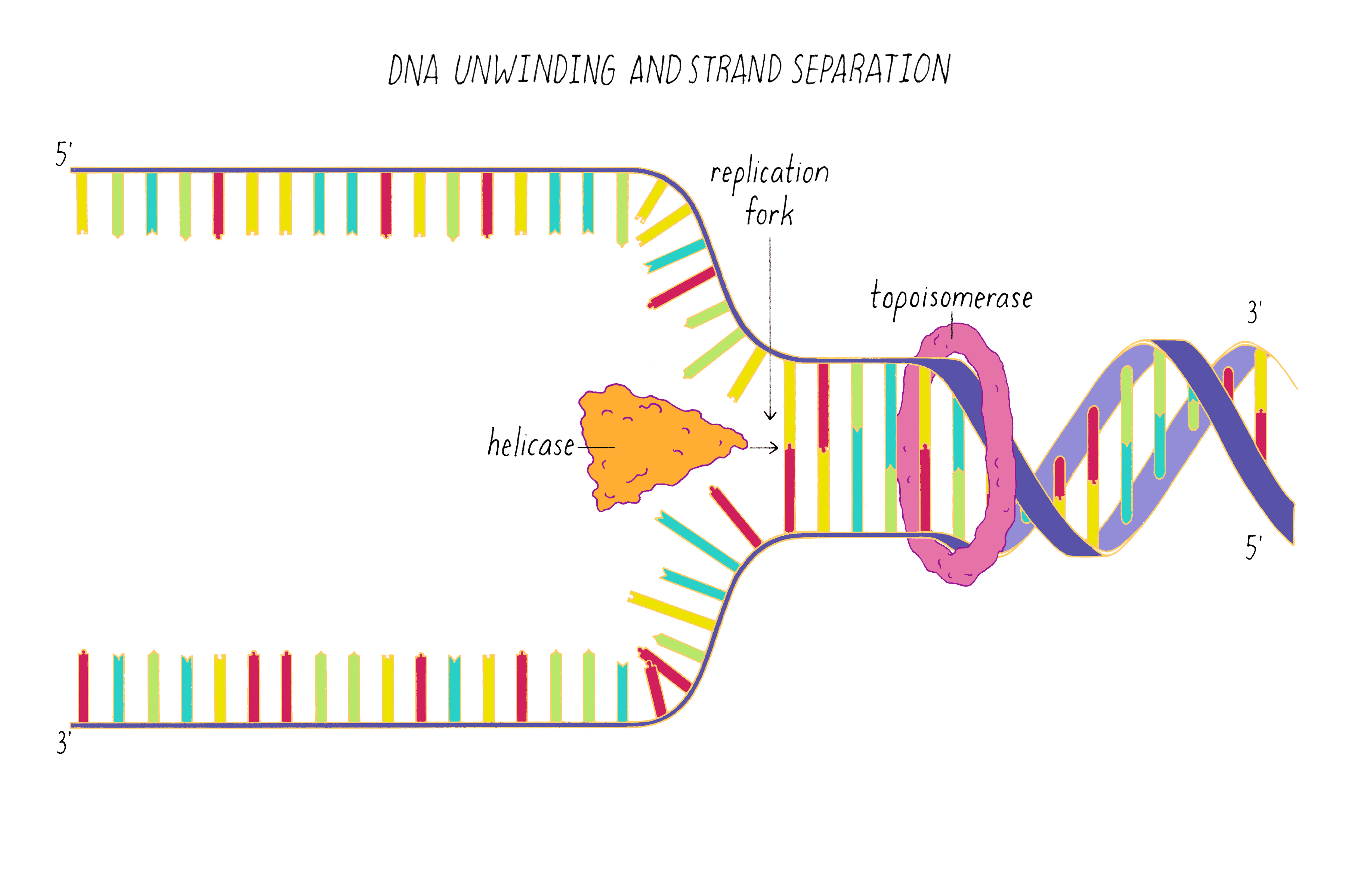 The Structure Of Dna Genetics The Structure Of Dna